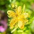 Hypericum perforatum in Haute-Savoie (2).jpg