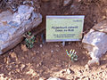 Hypericum robertii Habitus 2010-7-17 JardinBotanicoHoyadePedraza.jpg