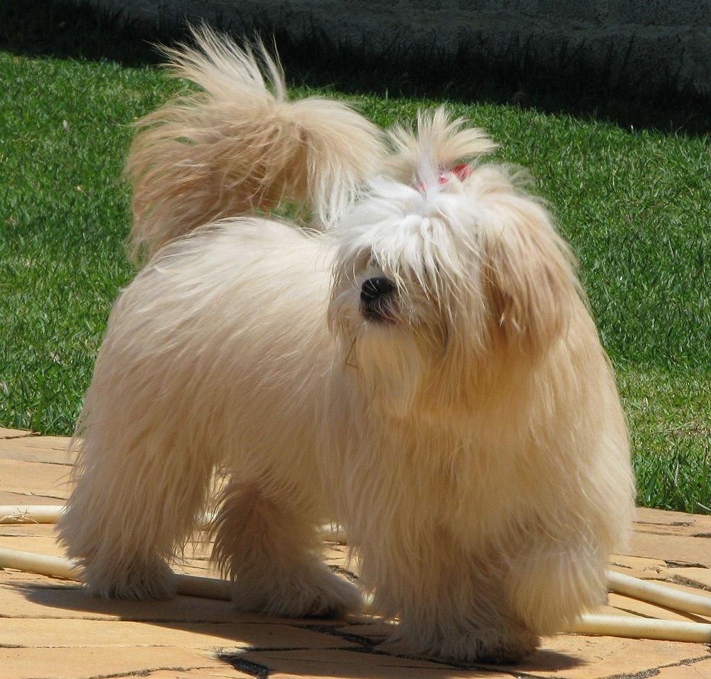 El Lhasa Apso es un perro muy inteligente, juguetón y amigable
