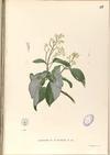 Ichnocarpus frutescens Blanco1.97