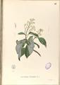 Ichnocarpus frutescens Blanco1.97.png