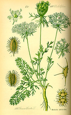 Möhre (Daucus carota), Illustration