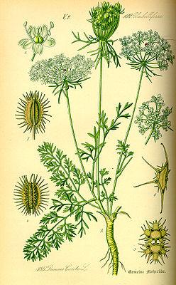 Wilde Möhre (Daucus carota subsp. carota), Illustration