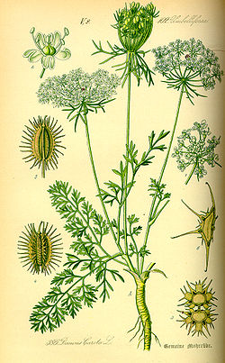 Illustration Daucus carota0.jpg