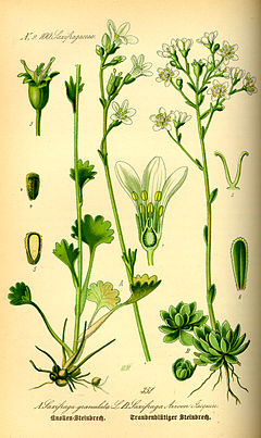 Illustration Saxifraga granulata0.jpg