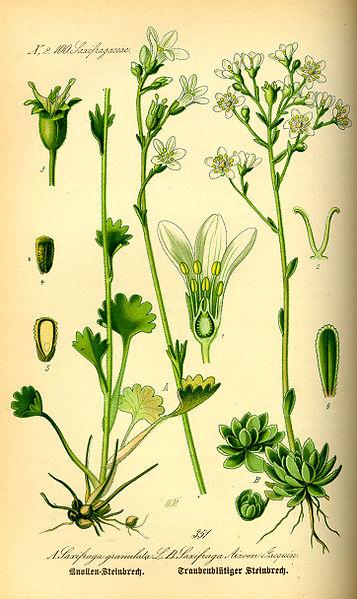 Bild:Illustration Saxifraga granulata0.jpg