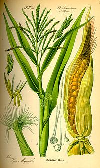 Ilustración de Z. mays.