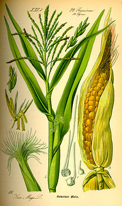 Image result for zea mays