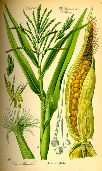 Archivo:Illustration Zea mays0.jpg