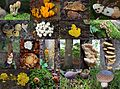 Impression of a Schaarsbergen forest inspection for searching mushrooms. As can be seen already end of August there are lots of them - panoramio.jpg
