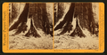 In the Mariposa Grove, Mariposa County, Cal, by Watkins, Carleton E., 1829-1916 3.png