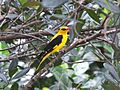 Indian Golden Oriole.jpg