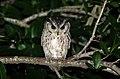 Indian scopsowl-Otus bakkamoena.jpg