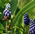 Insekt an Traubenhyazinthe 3482.JPG