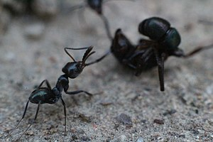 Apparent death - Black house ants attacking a green-head ant which has gone into tonic immobility