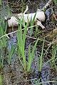 Iris pseudacorus 126992235.jpg