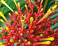 Isertia haenkeana, the Firecracker Plant (9413403410).jpg