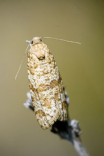 Chlidanotinae Subfamily of moths