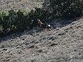 Izard a la Roca del Corb, Peramola (desembre 2012) - panoramio.jpg