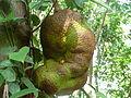 Jackfruit001.JPG