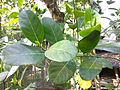 Jackfruit tree leaves 07.jpg