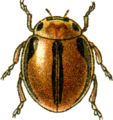 Jacobson micraspis lineola.png
