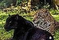 Jaguar melanico y jaguar comun.jpg