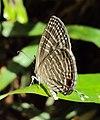 Jamides celeno – Common Cerulean 06.JPG