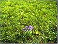 January Frost Botanic Garden Freiburg Safran Crocus - Master Botany Photography 2014 - panoramio.jpg