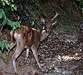 Javan Deer Rusa timorensis wounded (7880449230).jpg