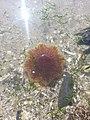 Jellyfish - Portmarnock, Co. Dublin.jpg