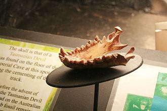 Tasmanian devil - A jawbone found in the mainland Jenolan Caves