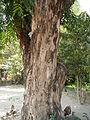 Jf9408Pterocarpus indicus Lubaofvf 06.JPG