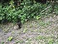 Jielbeaumadier lapin de garenne terrier dover 2009.jpeg