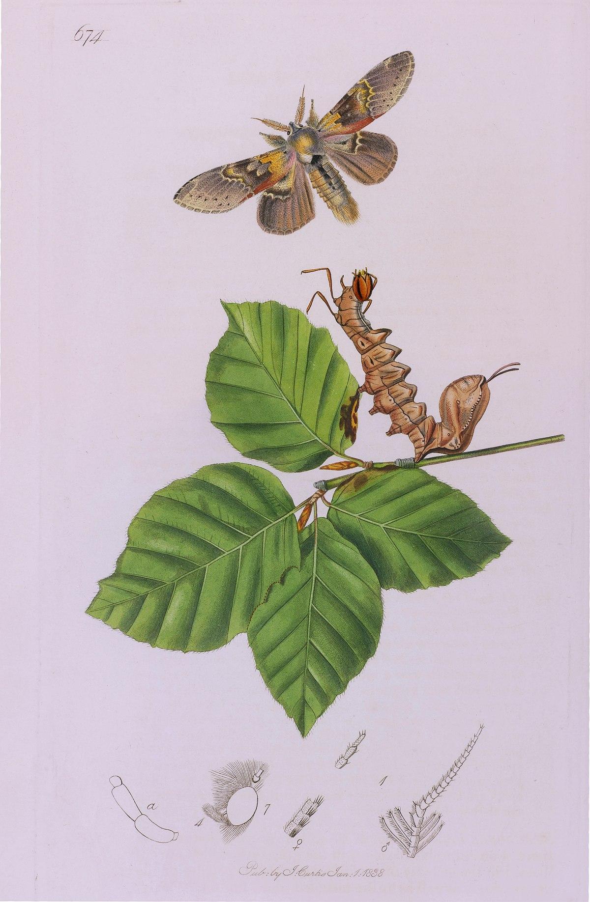 1200px John Curtis British Entomology Plate 674 Lobster Moth Stauropus fagi