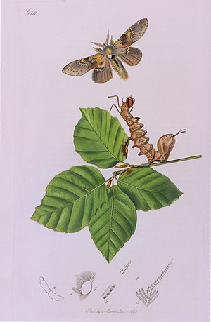 British Entomology - Proof impression: Plate 674. The Lobster Moth, Stauropus fagi.