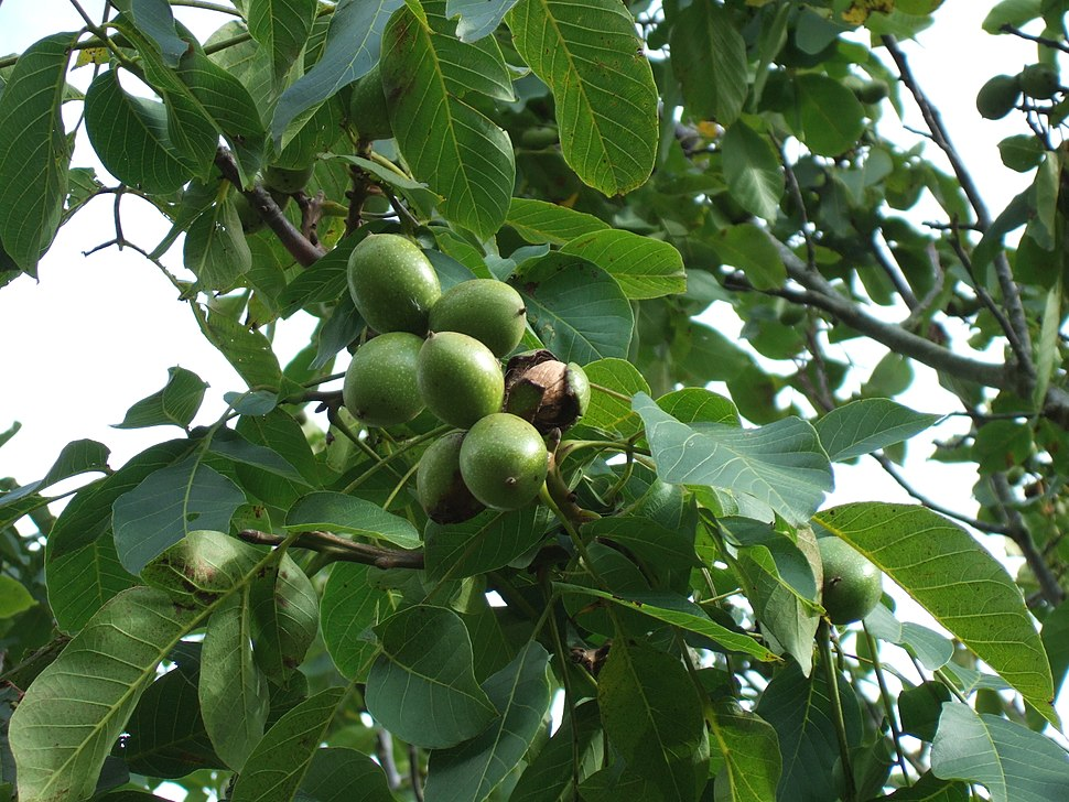 Juglans regia, walnut, with ripening nuts