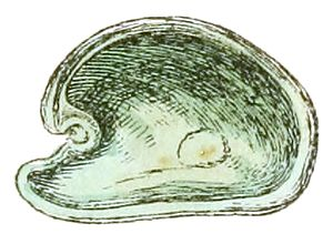 """Valve (mollusc) - Drawing of the interior of the left valve of the shell of """"Julia borbonica"""""""