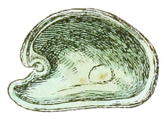 "Valve (mollusc) - Drawing of the interior of the left valve of the shell of ""Julia borbonica"""