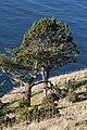Juniperus maritima 5859.JPG