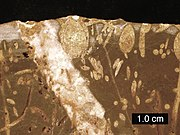 Cross-section of a Carboniferous limestone bored by Jurassic organisms; borings include Gastrochaenolites (some with boring bivalves in place) and Trypanites; Mendip Hills; scale bar = 1 cm.