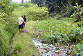 Kalo Loi Harvest.jpg