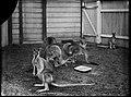 Kangaroos 1901 Sydney.jpg