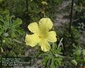 Karavila flower.jpg