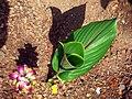Kasthuri manjal plant with flower.jpg