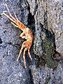 Kepiting Merah3.jpg