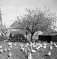 Kippen, Bestanddeelnr 254-3493.jpg