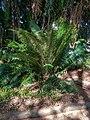 Kirstenbosch National Botanical Garden, Cape Town (P1060023).jpg
