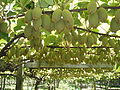 Kiwifruit on vine.JPG