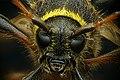 Kleine wespenbok - Clytus arietis - Wasp beetle.jpg